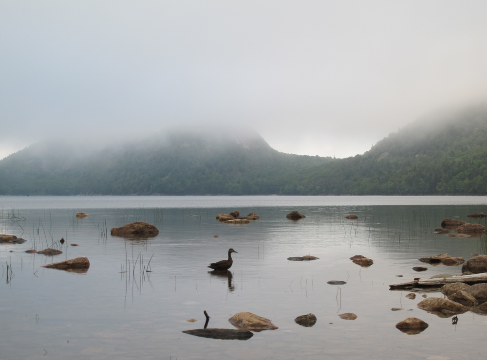 Jordan Pond last evening, at the end of our busy workshop day. The pond provides not only drinking water for Seal Harbor and a lovely setting for the famous Jordan Pond House (the only restaurant located within Acadia National Park) but also a pristine hangout for the occasional American black duck.