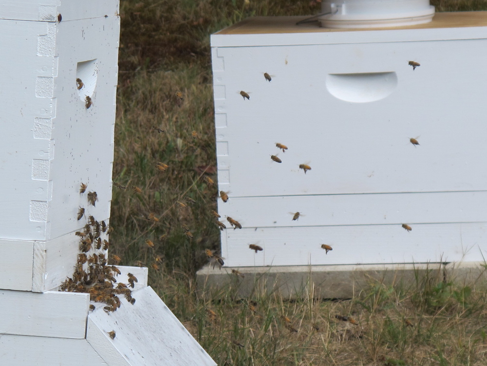 Honeybees in action at Pam and Emma Walsh's Mount Desert Island apiary.