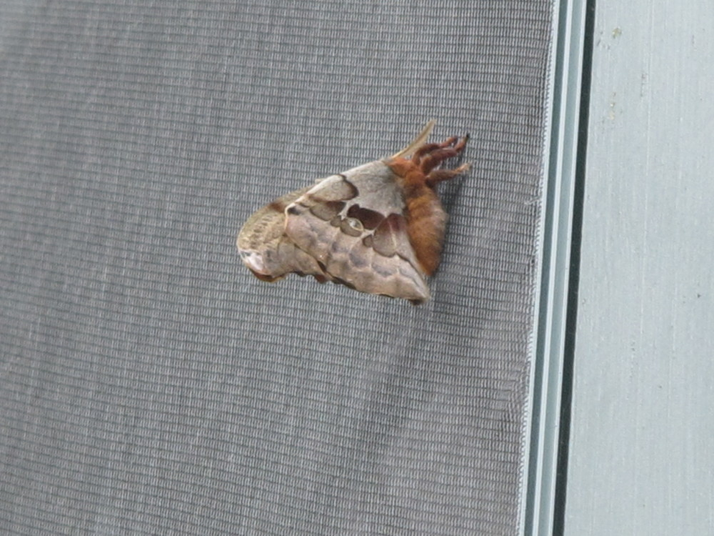 "A 10-year-old boy saw a crowd of grown-ups gathered outside the Notebook trying in vain to identify this large flyer attached to an upstairs window screen. He declared, ""That's a polyphemus moth!"" He was right, of course, as 10-year-olds so often are. I love moments like that at the Notebook."