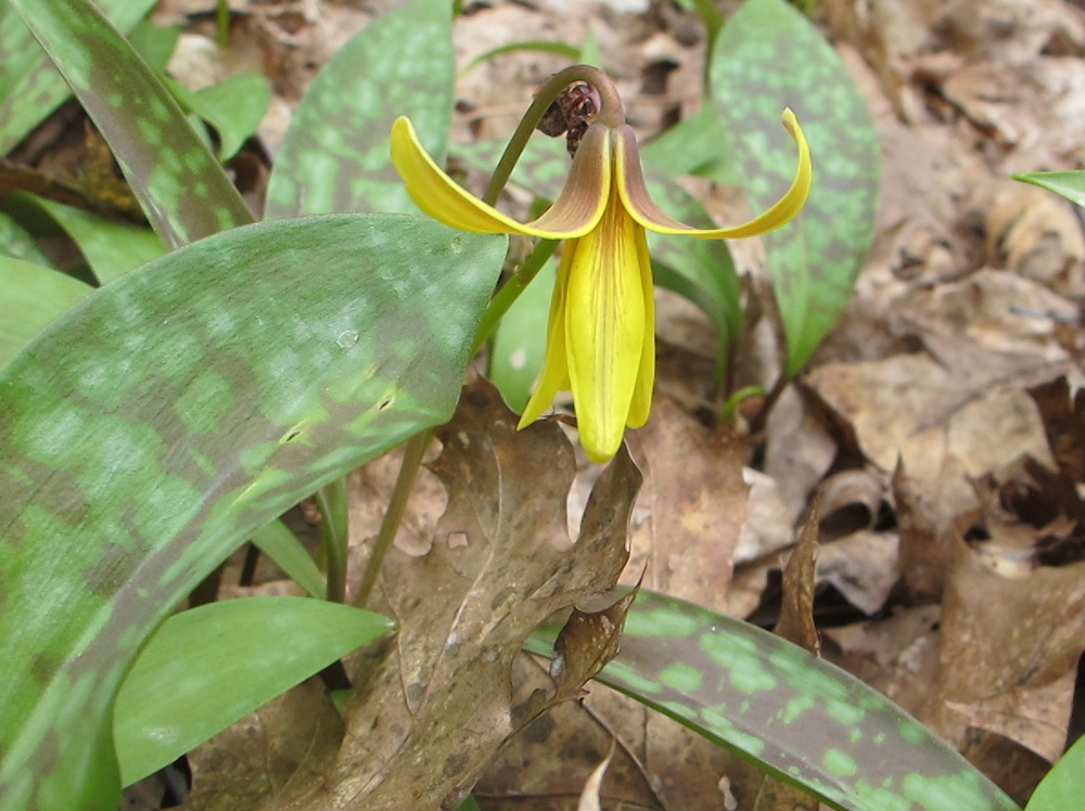 Our woods is blanketed with these wildflowers, which have three names: trout lily (because of the speckled pattern on the leaves), adder's tongue (because of the shape of the flower) and dogtooth violet (because someone who saw it must have loved dogs; the plant isn't even a type of violet).