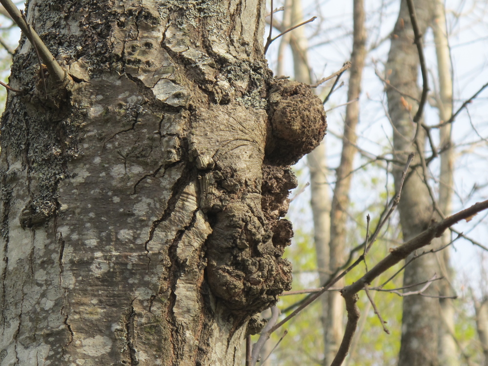 Is it me, or does the right side of this tree look like a caricature of former president Bill Clinton?