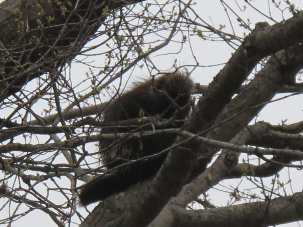 Our local porcupine seemed happy to keep its distance from me.