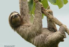 A three-toed sloth