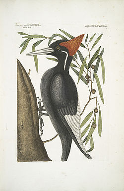 From Mark Catesby's Natural History
