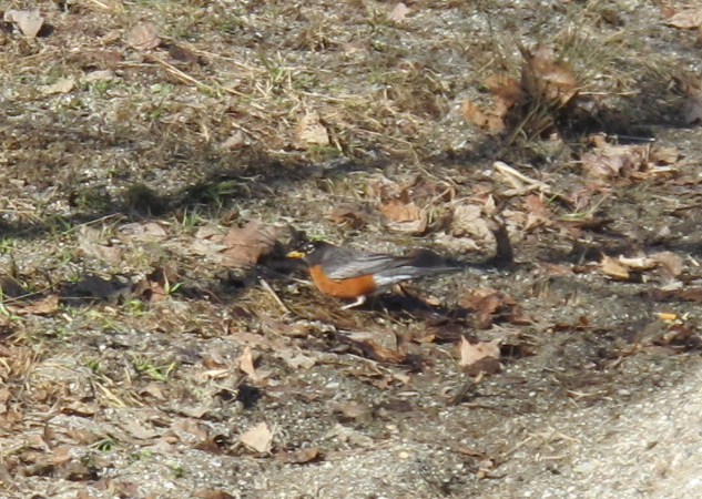 Part of the American robin flock that showed up in our part of Maine this past week.