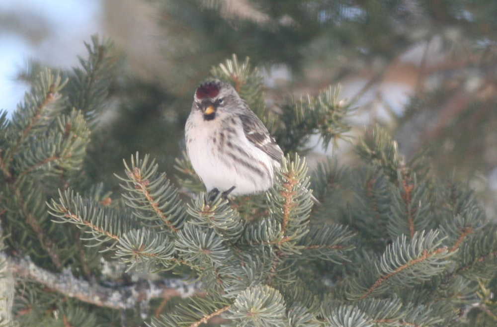 This female is part of a huge flock of common redpolls that showed up in late February to enjoy coastal Maine life outside our house.