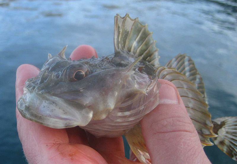A young shorthorn sculpin