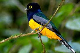 The violaceous trogon lives mostly in the Amazon region and often nests in wasp, ant or termite nests.