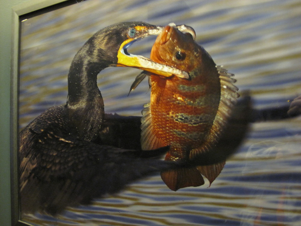 Part of the same Natural History Museum show, this shot by Richard Ettlinger of a double-breasted cormorant was taken in Florida, apparently at lunchtime.