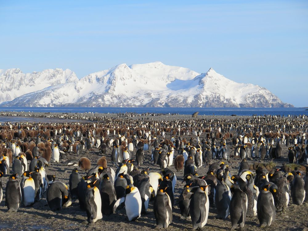 The king penguins and their brown, fluffy chicks filled the plain around us in every direction on South Georgia Island's largest coastal plain.