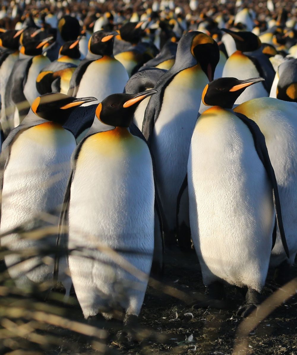 Salisbury Plain is home to South Georgia's greatest king penguin colony. See our previous posts, below, for more on these regal, remarkable animals.