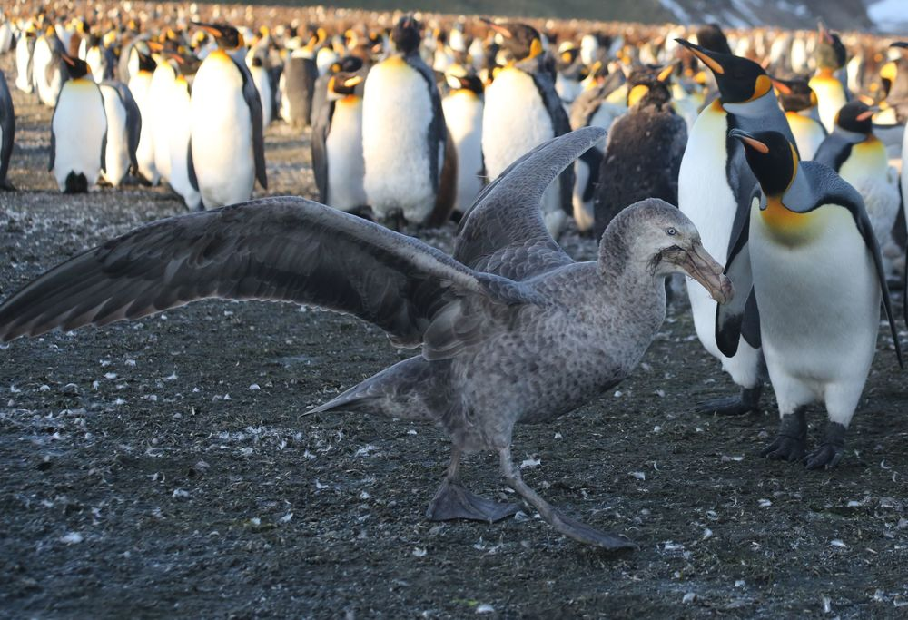 Southern giant petrels scouted the plain for prey, specifically penguin chicks.