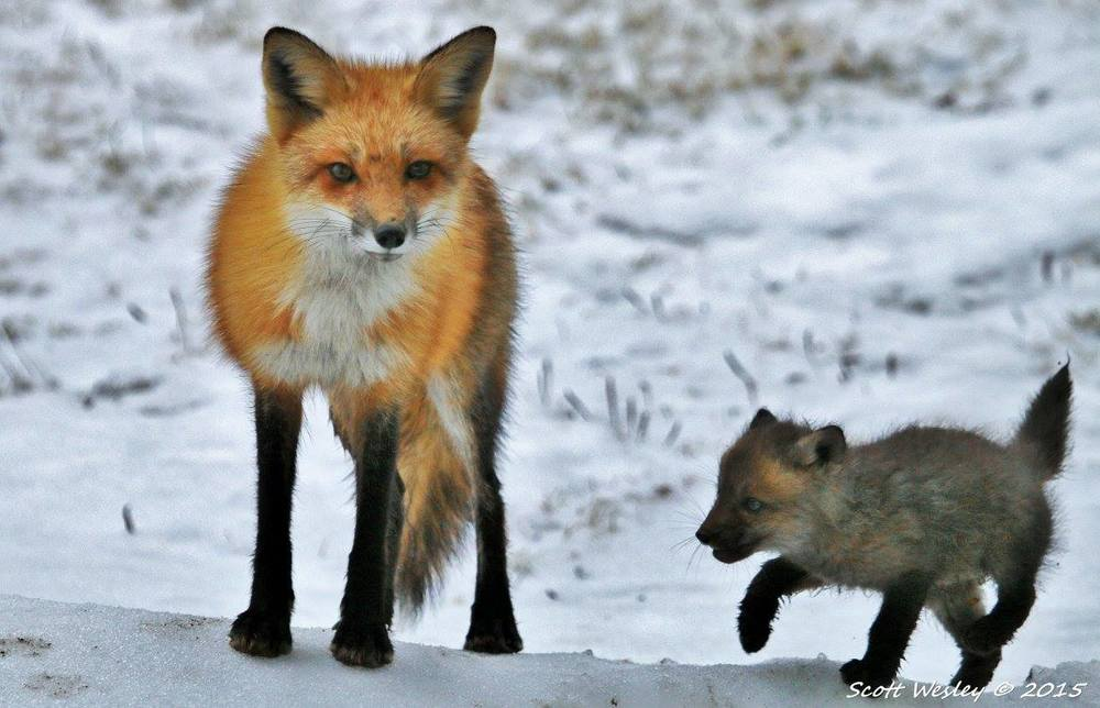 This wonderful shot of a fox and her kit (or pup) was taken by photographer Scott Wesley, one of our Facebook followers. On The Naturalist's Notebook's Facebook page we've been posting many of the pictures that Notebook followers have been sending us. We've also set up a Photos of the Week gallery here on the website. Many thanks to all of you for the images and wildlife sightings and stories you've been sharing with us—keep them coming!