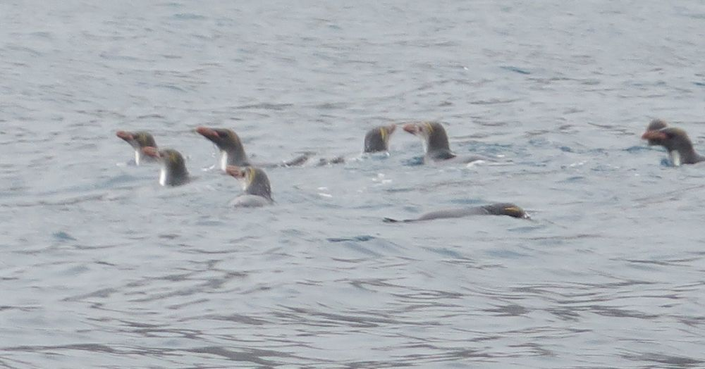 Some of the macaroni penguins were swimming.