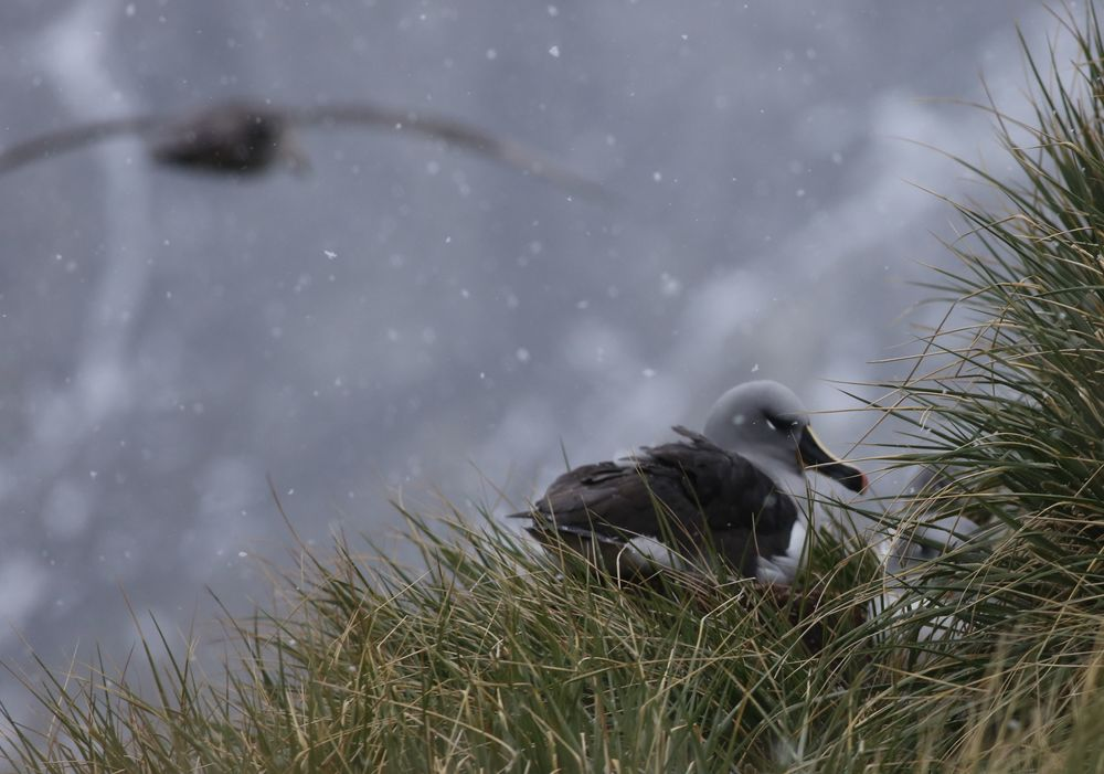 Our first look at a gray-headed albatross, a threatened species whose numbers are continuing to decline.