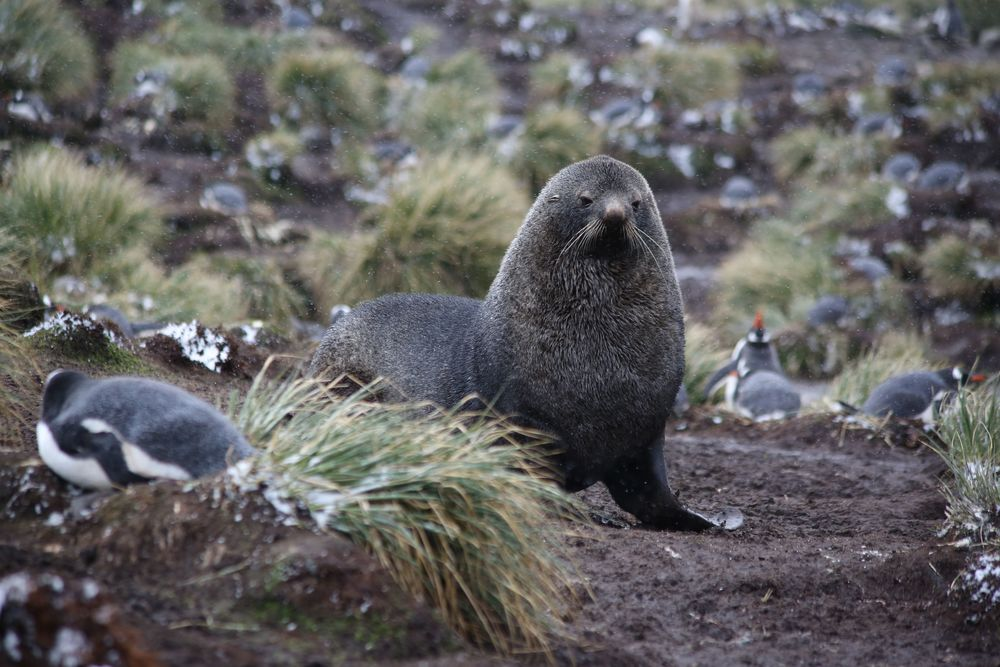 As we started to make our way back through the nesting gentoos, the fur seals again watched us and sometimes rumbled threateningly in our direction.