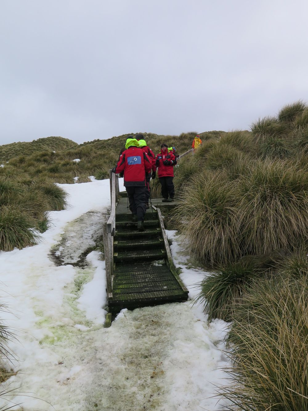 We ascended an icy wooden observation walkway (the only such visitor trail we would encounter on our three-week Antarctic voyage) to get a look at the wandering albatrosses nesting in the tussock grass.