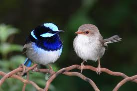A little fright can go a long way toward attracting a tryst partner if you're a male fairy wren (left, with a female).