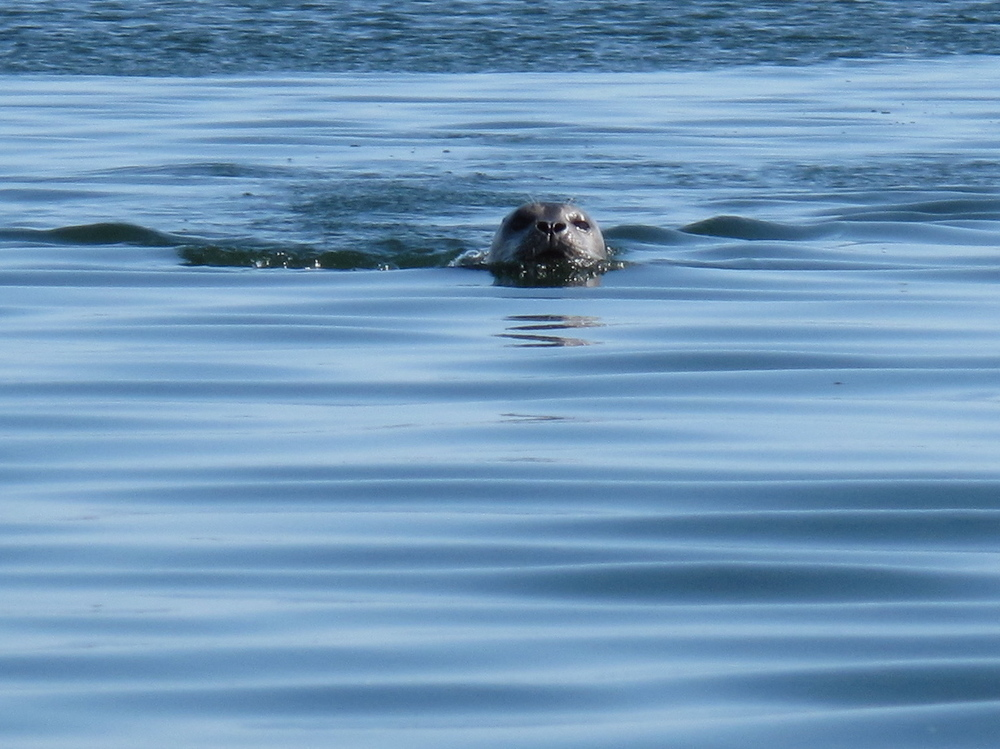This is one of the seals that live in the colony we can see from our house.