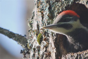 Ornithologist Pat Johnson, one of the original Naturalist's Notebook crew, took this shot of a pileated chick on Mount Desert Island.