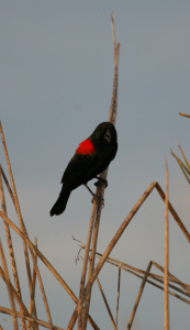 What caused so many red-winged blackbirds to die?