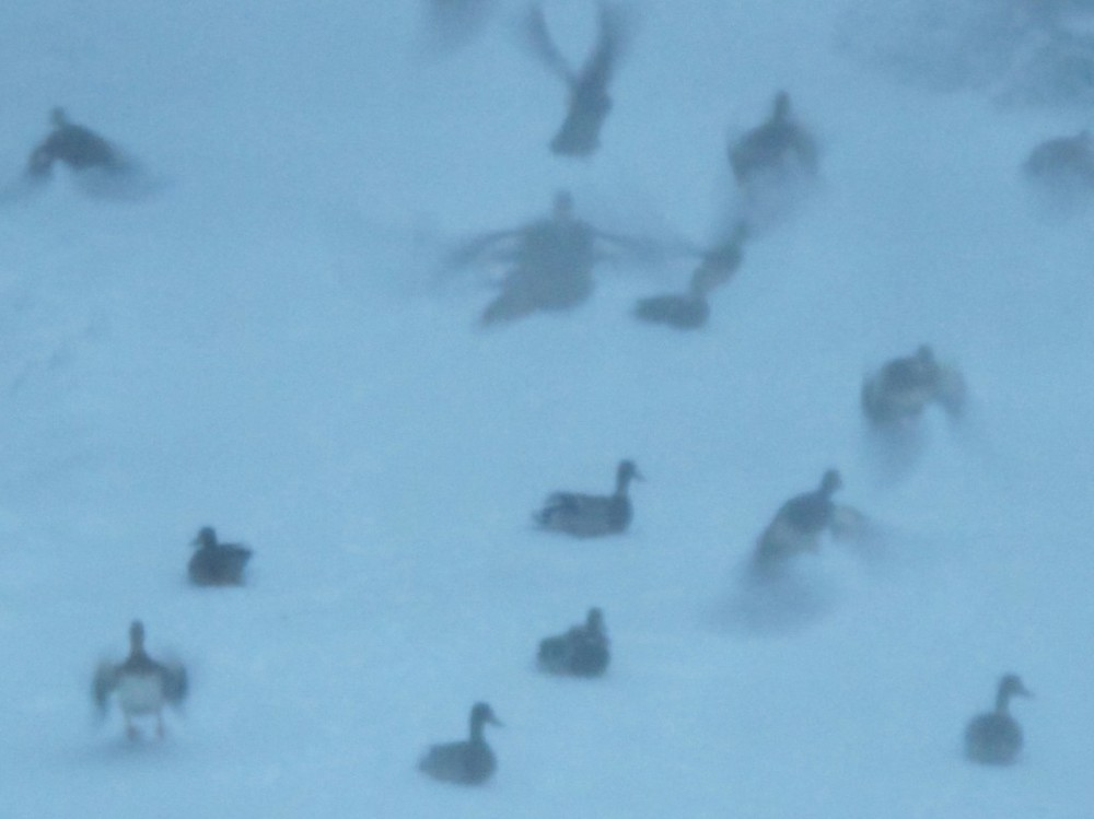 More than 80 ducks waddled ashore through the storm this morning, looking for stray birdseed, but many got scared off by the entrenched wild turkeys, who survived the night perched in trees, their lock-down claws holding them tight to branches.