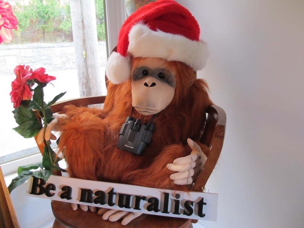 The orangutan is the world's largest tree-dwelling animal, though rarely is one found in a Christmas tree. This guy is getting into the holiday spirit after spending the summer hanging out in our display window with an occasionally zany chimp.