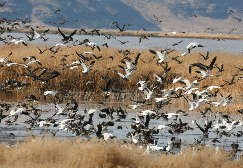A small glimpse of the more than one hundred thousand geese and other water birds at Tule Lake in far northern California.