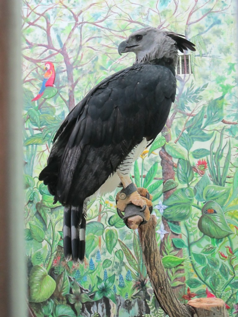 The rear talon of this harpy eagle is larger than a bear's claw; the talons are said to grip with a thousand pounds of pressure per square inch, five times the force our jaws and teeth use when chewing meat.