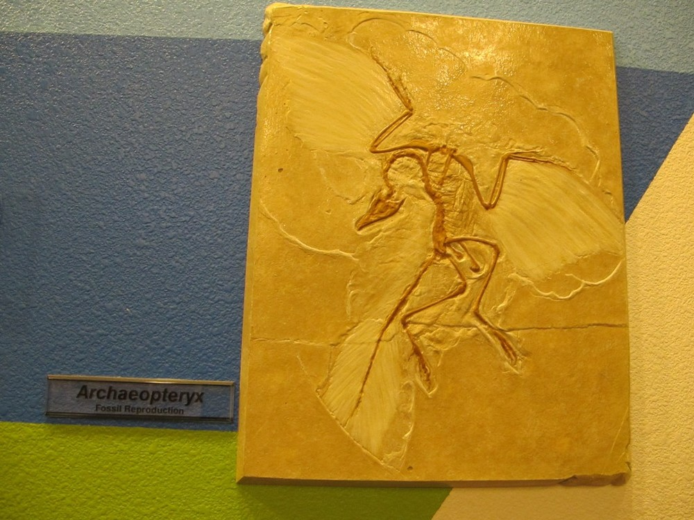 This is a cast of the earliest bird fossil ever found, the archaeopteryx from about 150 million years ago.