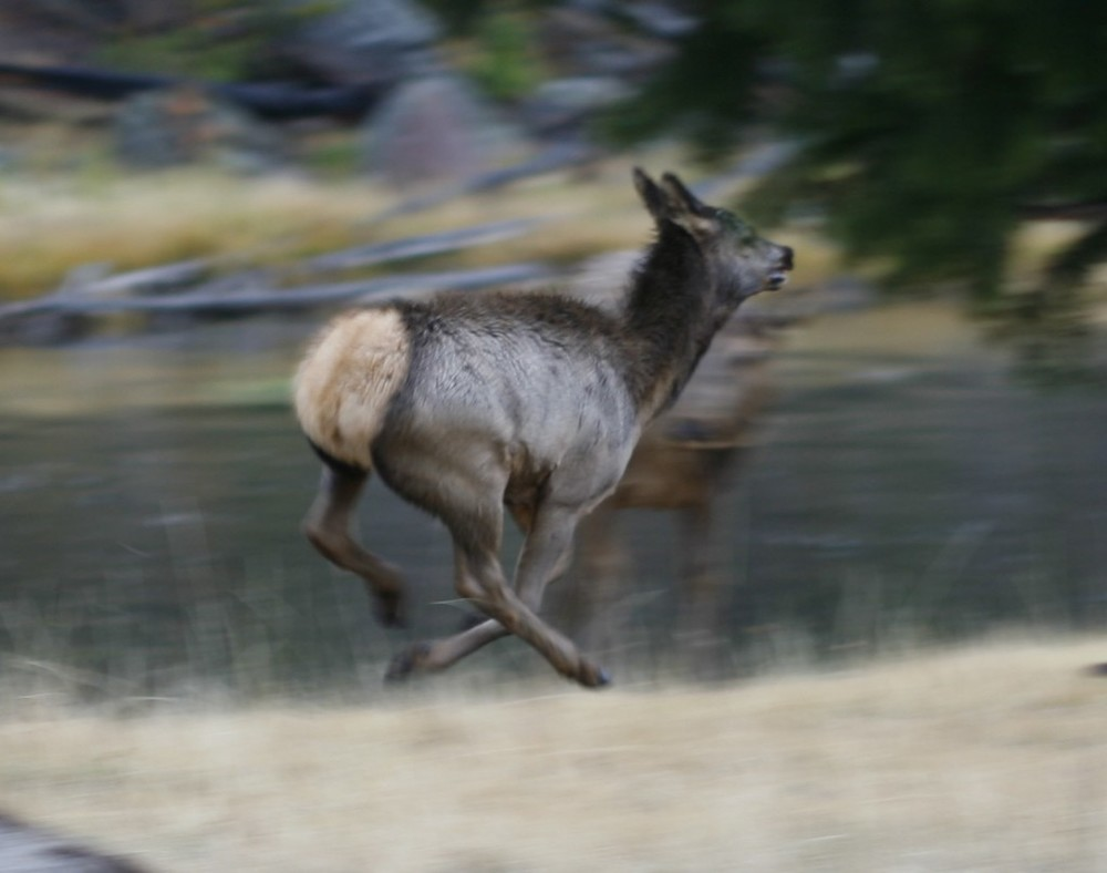 This frisky young elk raced back and forth along the Madison River in Yellowstone.