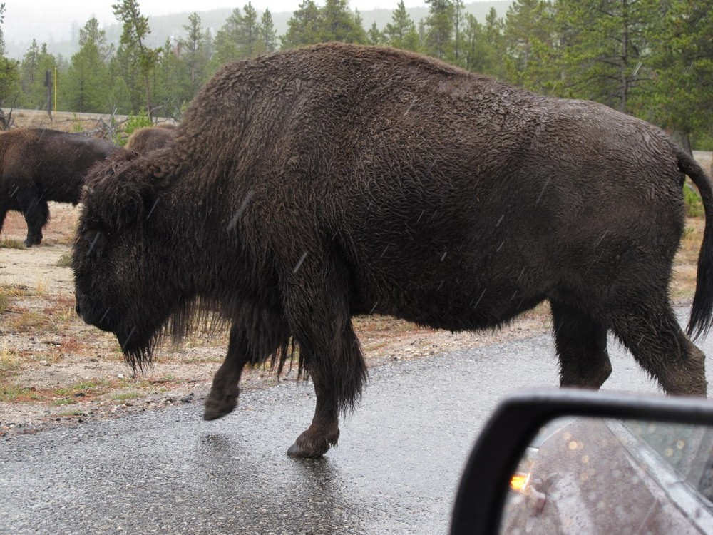 Several times we found ourselves in the middle of a herd of bison. One clueless woman got out of her car and stood a few feet in front of a bison to take its photo. She was lucky; the animal didn't attack her, as sometimes happens with park visitors.