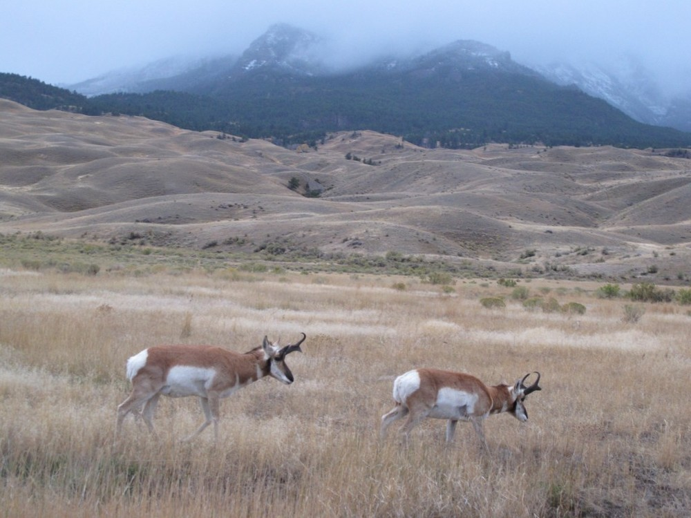 These pronghorn antelope greeted us as soon as we entered Yellowstone.