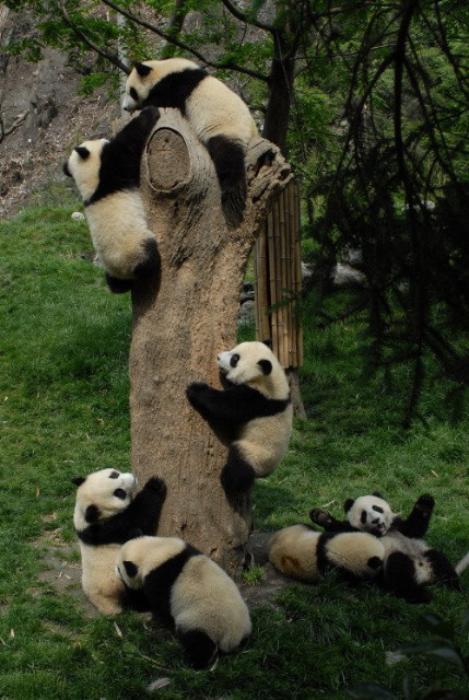 These pandas were rescued from the recent devastating earthquake in China.