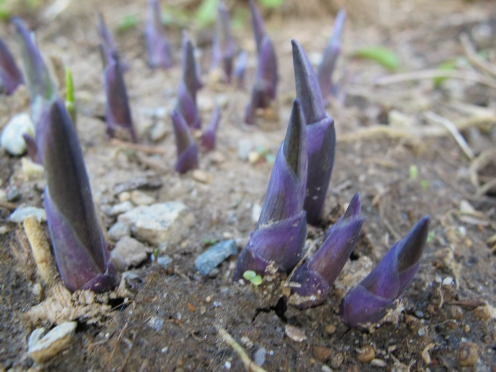 Our sprouting hostas