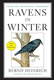 Ravens in Winter