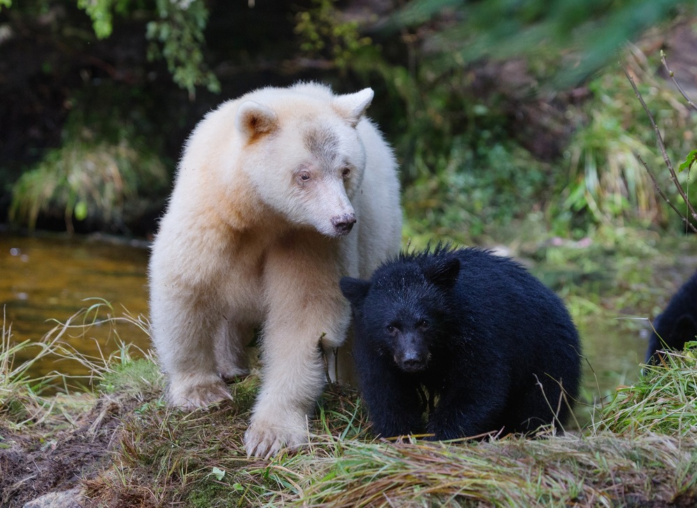 Because both parents must carry the gene mutation responsible for producing a white bear, white spirit bears can give birth to black cubs, which remain black all of their lives. (photo by Jenny Varley)