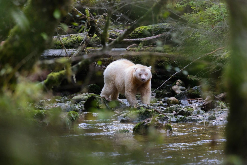 Studies have found that the white bears are more successful than black bears at hunting salmon during the day, when—from a fish-eye view—their coloration makes them less visible against the sky. (photo by Jenny Varley)