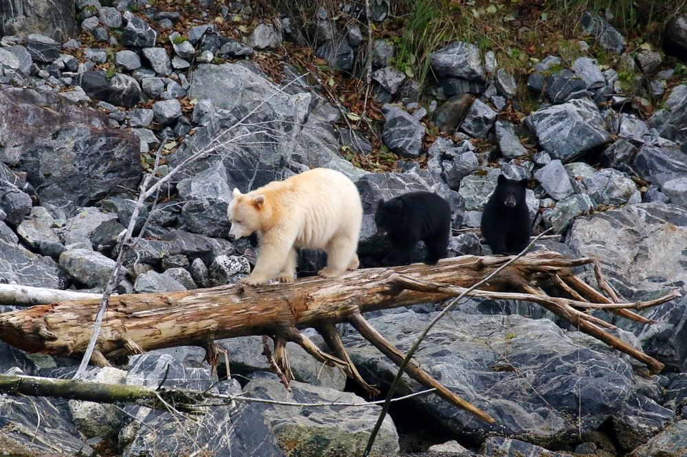 A male spirit bear can stand almost six feet tall and weigh 500 pounds; females, such as this one, are notably smaller and usually top out at about 300 pounds. (photo by Jenny Varley)