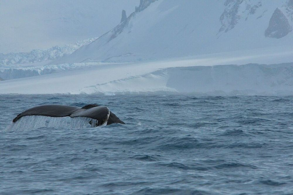 Once back on board the  Sergey Vavliov , we caught sight of another in a succession of whales that we had seen. I believe this one was a humpback. (photo by Ruediger Loechner)