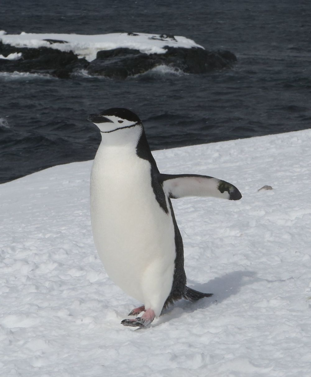 Surprise! Suddenly a lone chinstrap penguin was wandering around.