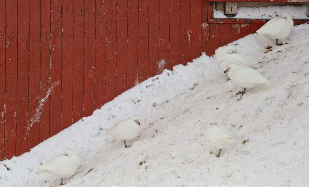 These are snowy sheathbills, scavengers that we had seen near several earlier penguin and seal breeding grounds. They'll eat anything from afterbirths to feces, which perhaps explains why they seem to spend so much time cleaning and grooming themselves.