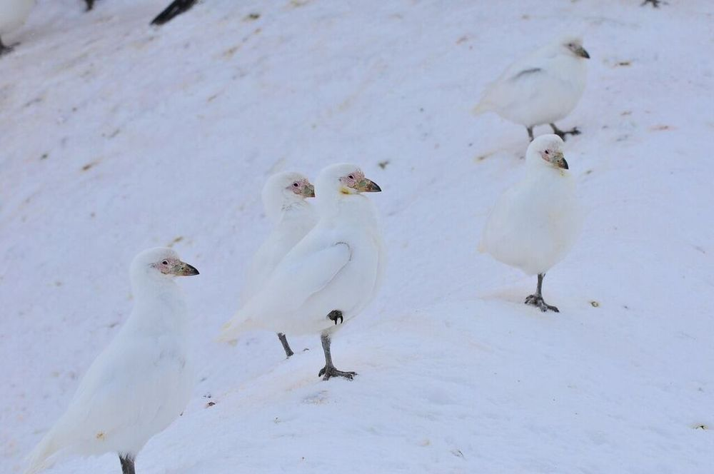 Many of the sheathbills held one leg up to retain warmth in the frigid conditions. (photo by Ruediger Loechner)