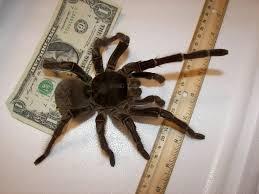 A Goliath birdeater tarantula.