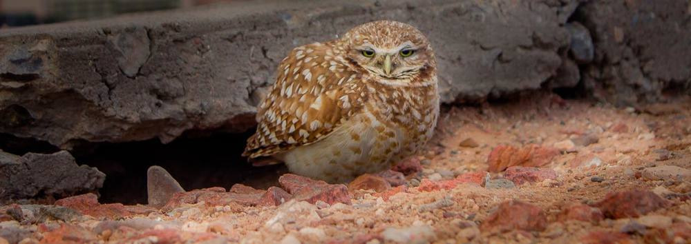 Photo of burrowing owl by Ory Bailey at Fort Bliss.