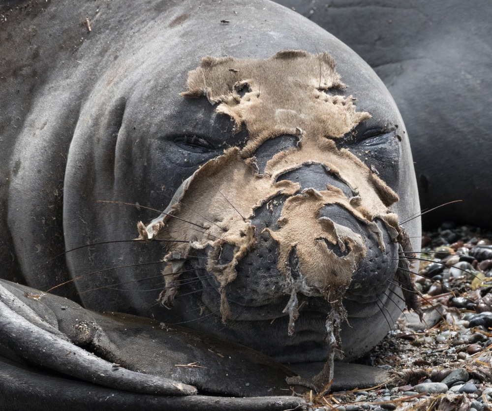 Northern elephant seal molting on the Islas San Bonito. (photo by Jenny Varley)