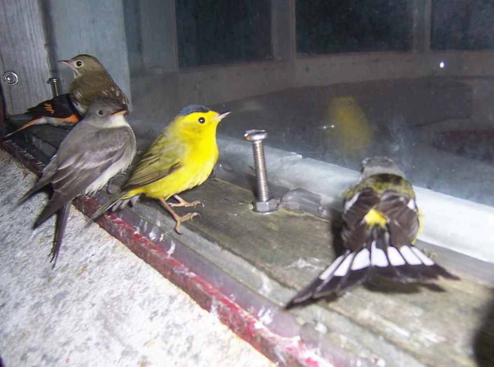 With its distinctive black cap, the yellow bird on the lighthouse windowsill appears to be a Wilson's warbler. (photo by Ralph Eldridge)