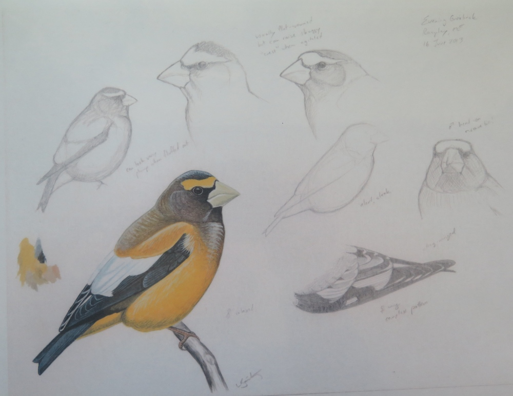 evening grosbeak luke seitz
