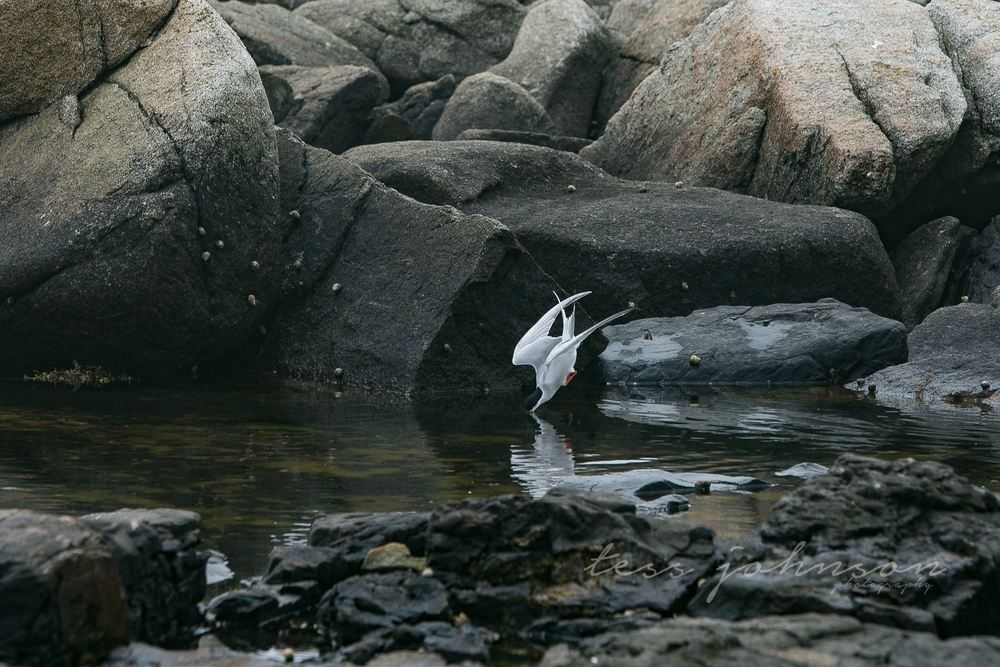 Tern feeding on elvers in Maine (photo by Tess Johnson)