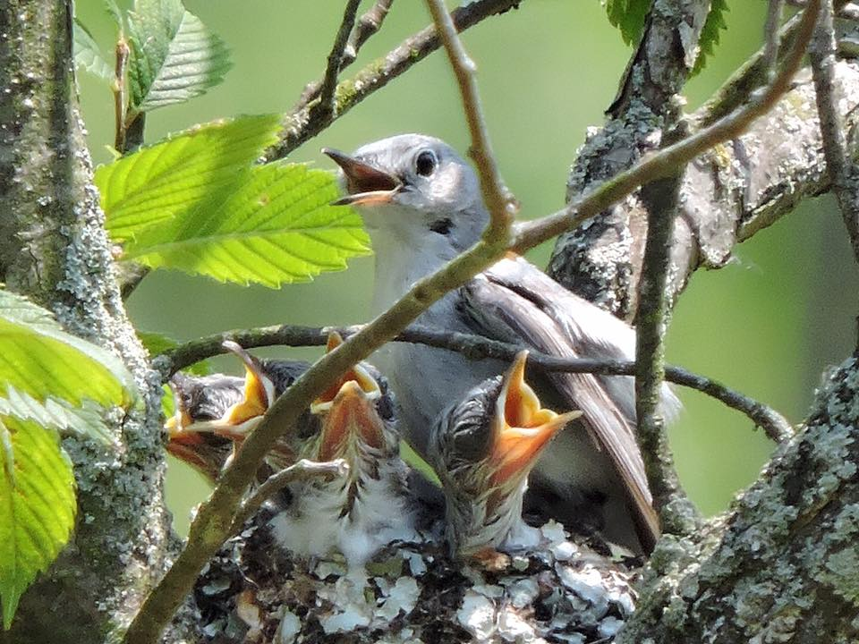 Blue-gray gnatcatchers (photo by Randy L. Schoff)